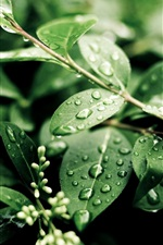 Plants, after rain, green leaves, water drops