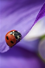 Purple petals, flower close-up, red ladybug