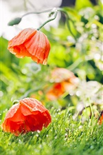 Red poppies close-up, flowers after rain