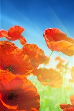 Preview iPhone wallpaper Red poppies flowers, sunlight, blue sky