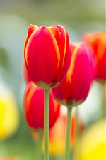 Preview iPhone wallpaper Red tulip flowers macro photography, blurry background