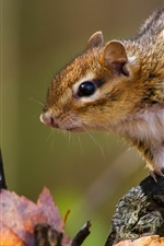 Preview iPhone wallpaper Rodent, chipmunk, leaves, autumn