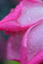 Preview iPhone wallpaper Rose macro photography, pink petals, water drops