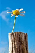 Preview iPhone wallpaper Single flower chamomile, blue sky, stump