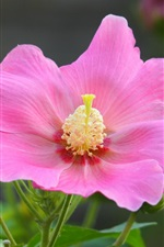 Preview iPhone wallpaper Single flower, hibiscus mutabilis