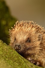 Preview iPhone wallpaper Small animal, hedgehog, spines