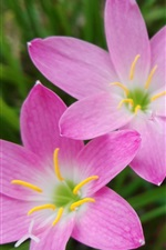 iPhone壁紙のプレビュー スリーピンクの蘭の花