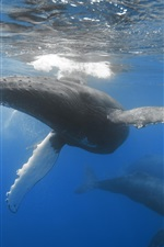 Preview iPhone wallpaper Whales in ocean, underwater