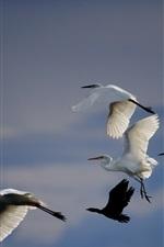 vôo do guindaste branco, pássaros no céu