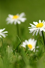 Preview iPhone wallpaper White daisy petals, grass, blurring