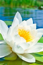 Preview iPhone wallpaper White lotus flower macro photography, green leaves, pond, water