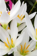 Preview iPhone wallpaper White orchid flowers photography