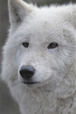 Preview iPhone wallpaper White wolf close-up, face, portrait
