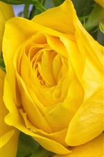 Yellow rose flowers macro photography