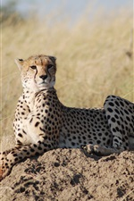 Preview iPhone wallpaper African safari, leopard, grass