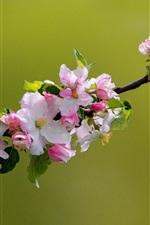 Preview iPhone wallpaper Apple tree flowers bloom, spring