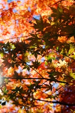 Autumn, maple leaves, red, sunlight