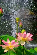 Preview iPhone wallpaper Beautiful lotus pond, pink flowers, green leaves