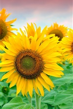 Preview iPhone wallpaper Beautiful sunflowers field