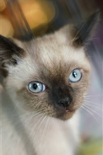 Blue eyes cat out the window