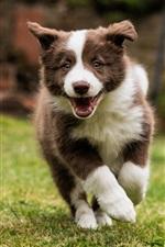 Border collie, dog walking, grass
