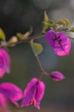 Preview iPhone wallpaper Bougainvillea pink flowers close-up, bokeh