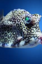 Boxfish cowfish in Atlantic underwater