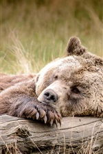 Preview iPhone wallpaper Brown bear sleep in the grass