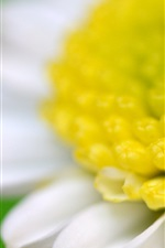Chamomile macro photography, white petals, yellow pistil, green background