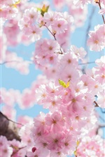Preview iPhone wallpaper Cherry flowers blossom, tree, twigs, spring
