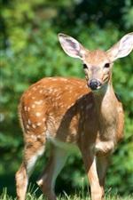 iPhone fondos de pantalla animal lindo, ciervos, hierba