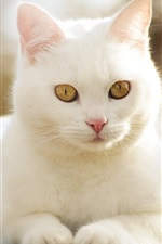 Cute white cat front view