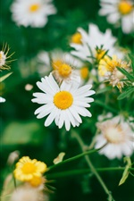 Preview iPhone wallpaper Daisies flowers field, white petals