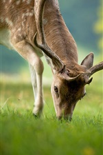 Preview iPhone wallpaper Deer eating grass, summer, bokeh