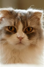 Preview iPhone wallpaper Fluffy cat, whiskers, house