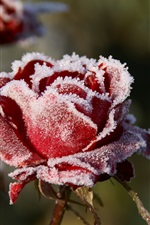 Preview iPhone wallpaper Frost red rose flower, cold