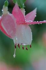 Preview iPhone wallpaper Fuchsia flower macro photography, dew, bokeh