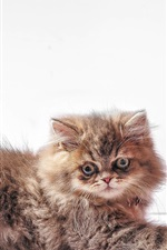 Preview iPhone wallpaper Furry kitten, white background
