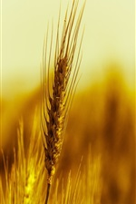 Preview iPhone wallpaper Gold wheat macro photography
