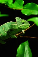 Preview iPhone wallpaper Green chameleon, Madagascar rainforest