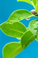 O verde deixa o close-up, ramos, orvalho, fundo azul