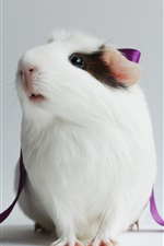 Preview iPhone wallpaper Guinea pig, lovely pet