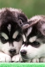 Preview iPhone wallpaper Husky puppies, two dogs