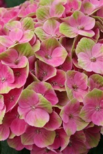 Preview iPhone wallpaper Hydrangea pink flowers