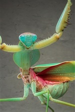 Insect close-up, mantis dancing