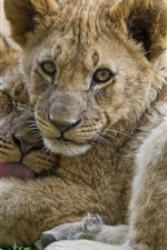 Preview iPhone wallpaper Lion cubs look at you