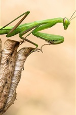 Mantis and dry flower