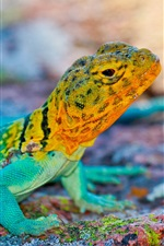Preview iPhone wallpaper Mexico lizard, colorful, stones