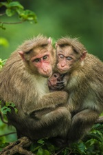 Monkeys family on the tree