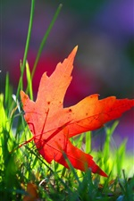 Preview iPhone wallpaper One red maple leaf, grass, sunshine